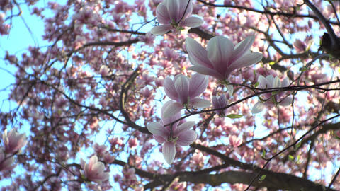 Chinese magnolia blossom close Footage