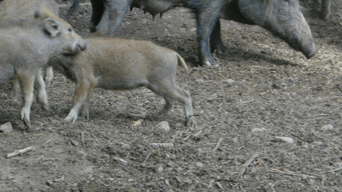 Wild boar piglets fighting Stock Video Footage