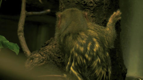pygme marmasat on a tree stamp 10bit HDR / HLG Stock Video Footage