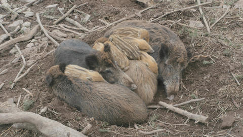 Wild boars, pigs sleeping in a pile Footage