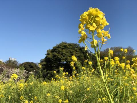 Blue sky and famous spring flower Fotografía