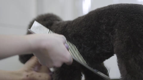 Woman professional hairdresser for dogs. Adorable dog in barber pet. Pet Live Action