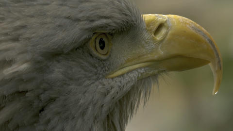 Very close up of eagle head 10bit HLG / HDR Live Action