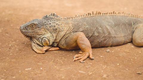 Close up shot of an orange iguana in desertic landscape. Cinematic shot Live Action