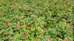 Field of red rose plant. Red rose hips Live Action