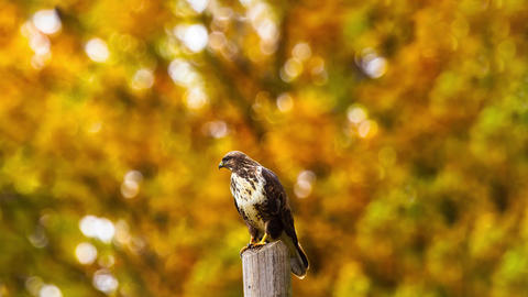 [alt video] Eagle Bird Zoom View with yellow leaves background