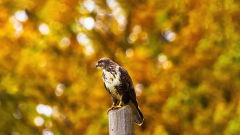 Eagle Bird Zoom View with yellow leaves background Animation