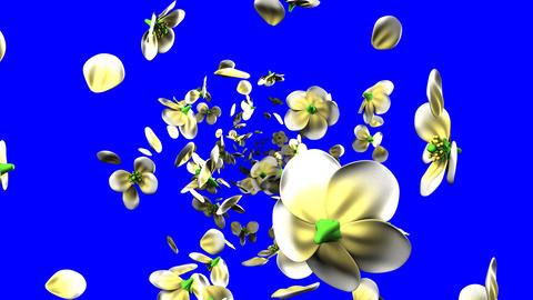 White flowers on blue chroma key Stock Video Footage
