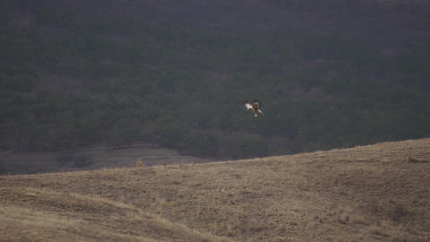 Desert eagle flight in one point over the hill Predator hunting Beautiful nature Live Action