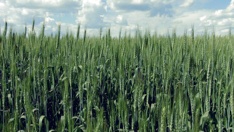 Ears Of Wheat stock footage