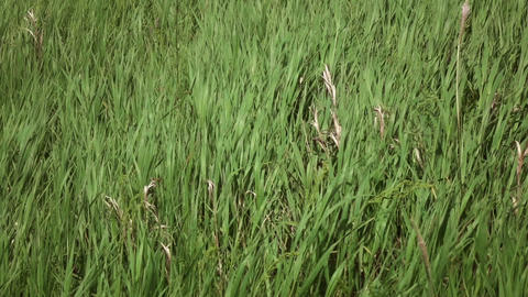 grass sways in the wind Slow motion Full HD 02 Footage