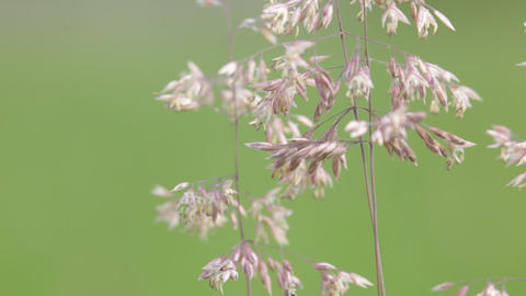 Abstract background of cereal plant 0003 Footage