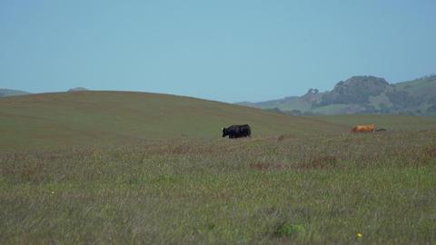 Beautiful Cows Walking In Meadow stock footage
