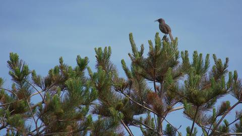 A grey bird sings from a branch, then flies away Footage