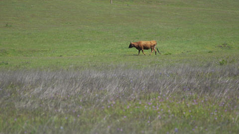 One brown cow walks across a field Footage