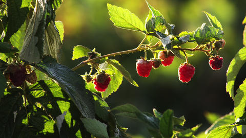 Close up of ripe raspberries on their bush Footage