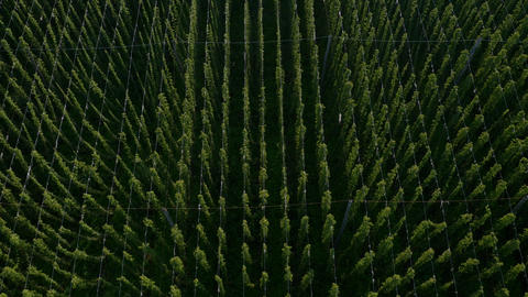 Aerial - Field of hops, high angle view Live Action