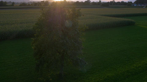 Aerial - Lonely tree at sunset Footage