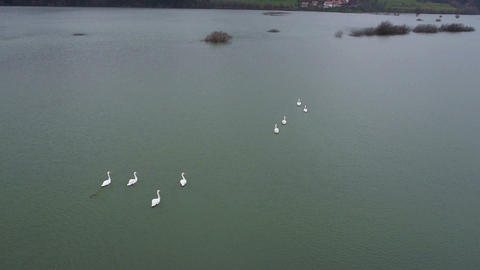 Aerial - A small flock of swans swimming on a lake Footage