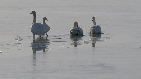 Tundra swans looking for some open water on an ice covered lake (Braking the Ice) GIF