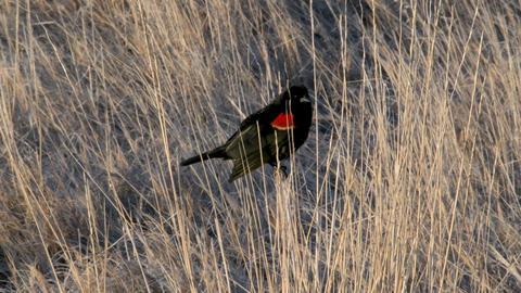 Red-winged Blackbird GIF