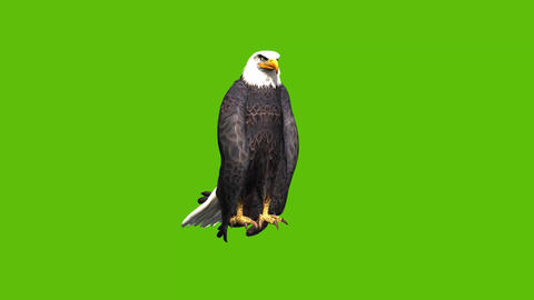 13 animation of eagle with green screen background Animation
