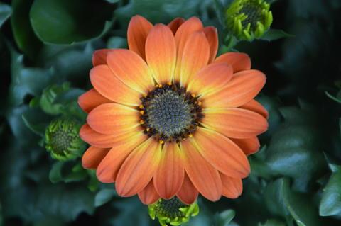 Close Up Of A Orange And Yellow Gerbera Fotografía