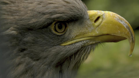 Close up of eagle from eye to end of beak 10bit HDR, HLG Footage