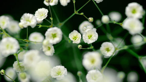 カスミソウの開花(タイムラプス) ビデオ