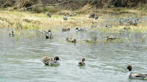 Wintering Grounds Of Duck (Pintail)00005 stock footage