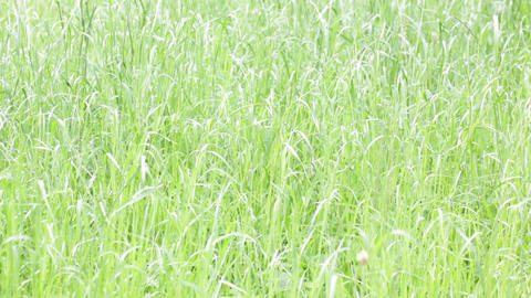 Background of grass in the wind 0008 ビデオ