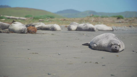 Elephant seal rolls over on the beach near San Simeon California Footage
