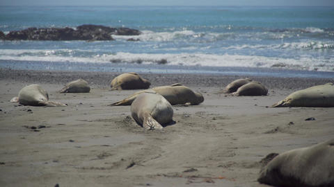 Elephant seals sunning on the beach near San Simeon California Footage