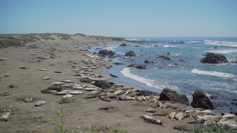 View of a massive elephant seal colony near San Simeon California Footage