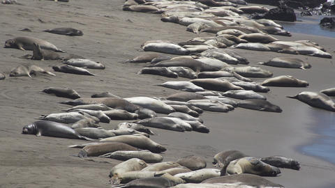 Hundreds of Elephant seals near San Simeon California Footage