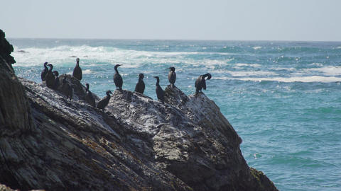 Medium shot of cormorants perched on the rocks near Spooners Cove Beach Live Action