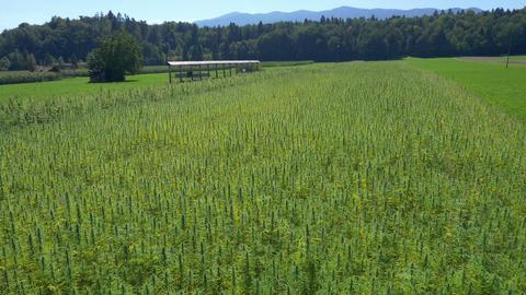 Aerial - Medical cannabis plantation Footage