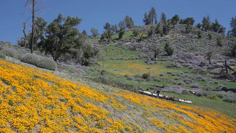 Pan down of Bright orange California poppies against a bright blue spring sky Footage