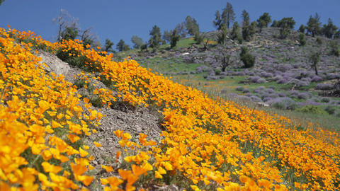 Pan right to bright orange California poppies against a bright blue spring sky Footage