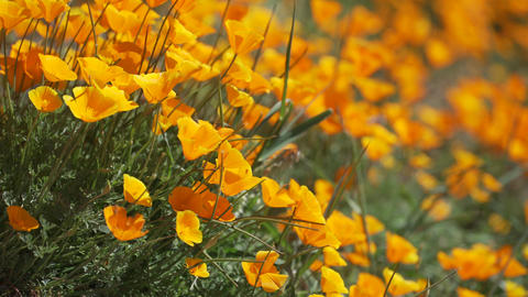 Shallow DOF view of orange California poppies Footage