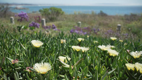 Pan of African Mesembryanthemum flowers on Pismo Beach Footage