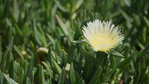 Close up of African Mesembryanthemum flowers on Pismo Beach Footage