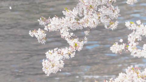 桜吹雪01 ビデオ