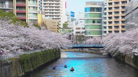 SAKURA Japanese cherry blossom trees along the Meguro river 01 Footage