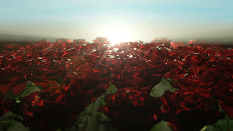 Beautiful calm sunrise over field of red roses Animation