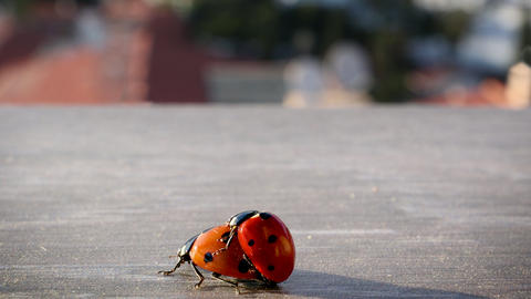 Mating lady bugs in city environment in Costa del Sol Footage