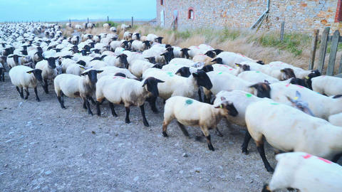 Sheep herd moving towards us Footage