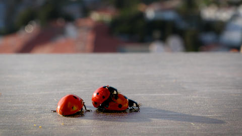 Mating lady bugs in city environment in Costa del Sol Live Action
