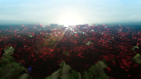 Beautiful morning and moving along field of roses Animation