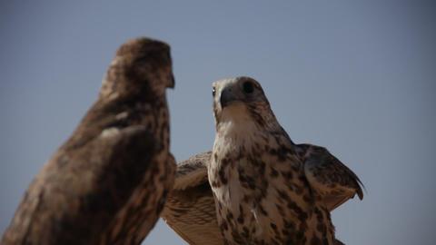 Bird Eagle in the Deser Live Action